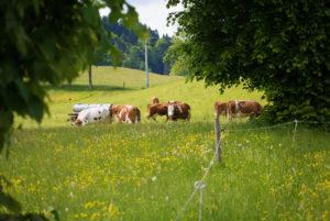 Berghammer Gmund - Kühe auf der Weide